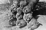 Photo of cougar heads piled up by a tree