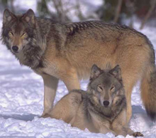 Photo of wolves by USFWS