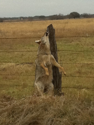 Coyote hung on road to Walker's house