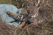 Photo of bobcat caught by torso in snare
