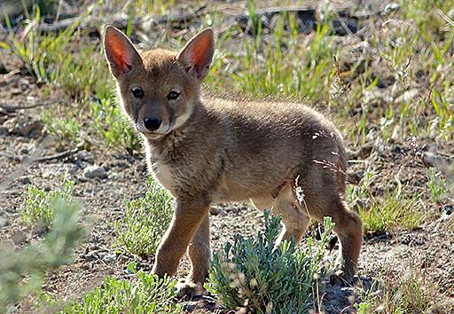 Photo of coyote for campaign to end wildlife killing contests