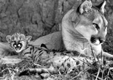 Photo of mother cougar with kitten by Bill Dow