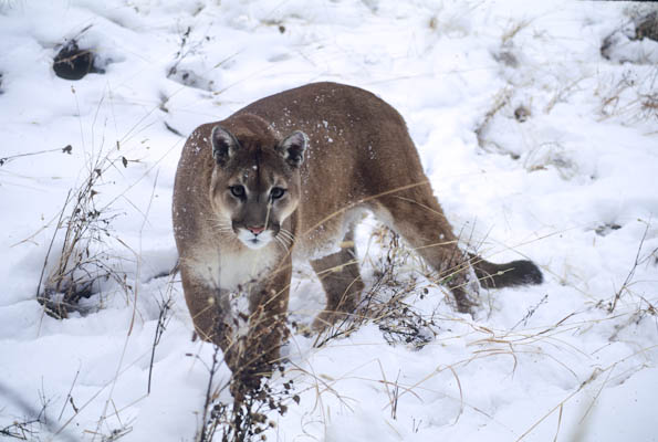how to cougar