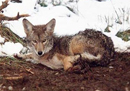 Photo of coyote with leg caught in trap