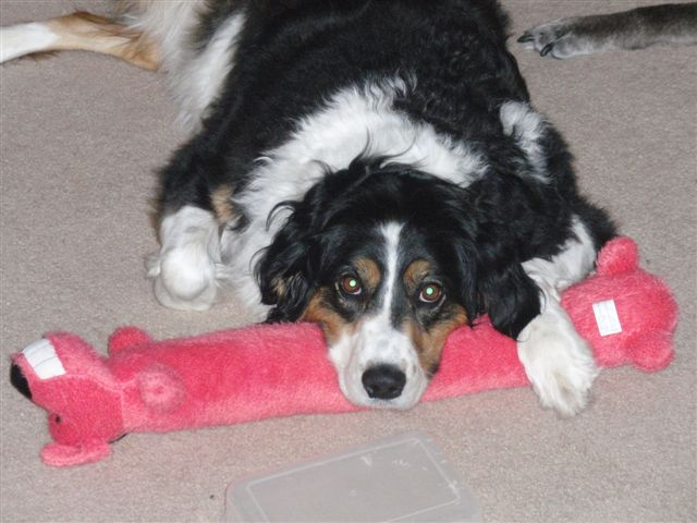 Border collie Maggie pictured on her last Christmas