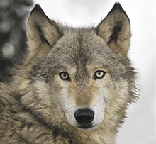 a look at the gray wolf aka canis lupus Gray wolf: gray wolf, (canis lupus), largest wild member of the dog family (canidae) [7 to 20 pounds] per animal) and then lingers, often reducing the carcass to hair and a few bones before moving on to look for another meal.