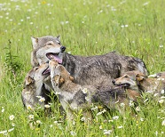 Photo of wolf family playing
