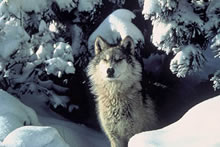 Photo of gray wolf by Tracy Brooks