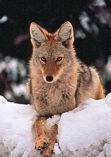 Predator Defense Protecting Coyotes At Risk